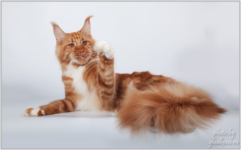 Sharm World Paso Doble maine coon